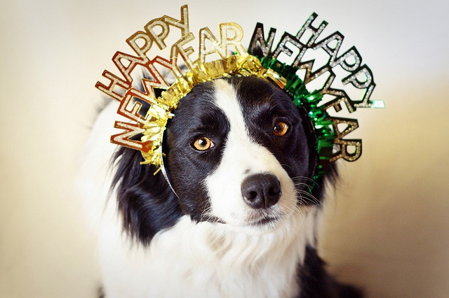 Dog Wearing Happy New Year Headband | Heidi's Hounds | South Shore MA