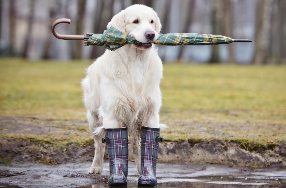 Dog wearing rain boots | Heidi's Hounds | South Shore MA
