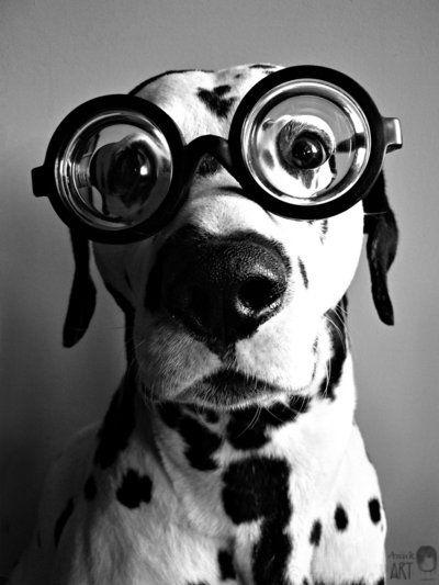 Dalmatian wearing glasses   Heidi's Hounds   South Shore MA